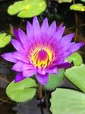 顶视图桃红色莲花的关闭是开花和卓著的在池塘 库存照片