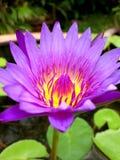 顶视图桃红色莲花的关闭是开花和卓著的在池塘 免版税库存图片