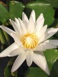 顶视图白莲教花的关闭是开花和卓著的与叶子在池塘,垂直的看法 免版税图库摄影