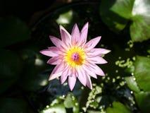 从顶视图的桃红色莲花 库存照片