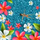 顶视图,夏令时,假日背景,少妇游泳,在游泳水池水,赤素馨花中放松开花,传染媒介 库存图片