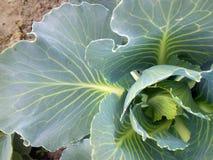 顶视图 植被-年轻圆白菜 免版税图库摄影