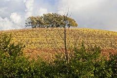 顶面小山树在葡萄园里 免版税图库摄影
