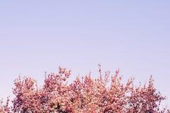 顶面桃红色开花树枝蓝色紫罗兰色天空 库存图片
