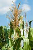 顶面玉米 免版税库存图片