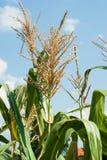 顶面玉米 库存图片