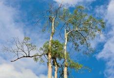 顶面高树 免版税图库摄影
