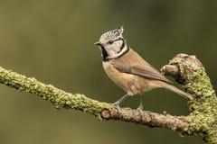 顶饰的山雀,Lophophanes cristatus 一个歌手 库存图片