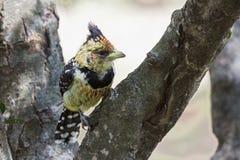顶饰的热带巨嘴鸟鸟 图库摄影
