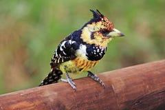 顶饰的热带巨嘴鸟 免版税库存图片