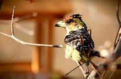 顶饰的热带巨嘴鸟 库存图片