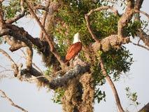 顶饰的蛇老鹰坐树反对天空蔚蓝,雅拉国家公园,斯里兰卡 免版税库存照片