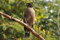 顶饰的蛇老鹰,Spilornis cheela,Nagarhole国立公园卡纳塔克邦,印度 库存图片