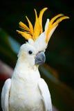 顶饰的香橼美冠鹦鹉 库存图片