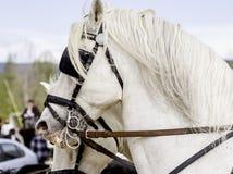 顶头两白色的horseÂ的 库存图片