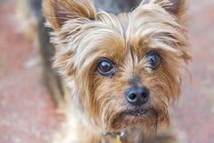 顶头和恳求逗人喜爱的约克夏狗的眼睛 库存照片