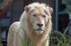 顶头狮子男 库存图片