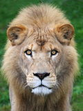 顶头狮子 库存图片