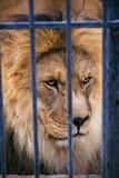 顶头狮子 免版税库存照片