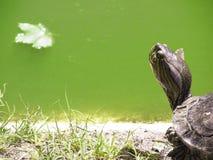 顶头的乌龟看一个绿色池塘 免版税库存照片