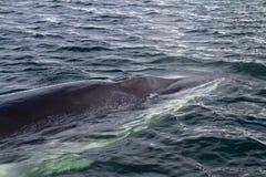 顶头的小须鲸的突然出现水的表面上 库存照片