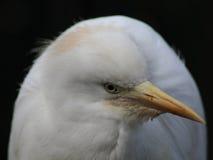 顶头的白鹭一点 免版税库存图片