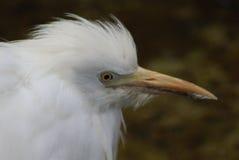 顶头的白鹭一点 图库摄影