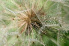 顶头种子 图库摄影