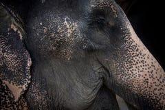 顶头老亚洲大象,特写镜头 库存照片