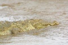 顶头观点的在河岸的一条泽鳄鳄鱼 库存图片