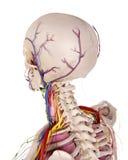 顶头解剖学 库存图片