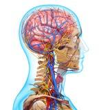 顶头骨骼循环系统侧视图  免版税库存照片