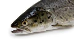 顶头鳟鱼 免版税库存照片
