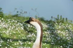 顶头鹅的图象在自然的 库存图片