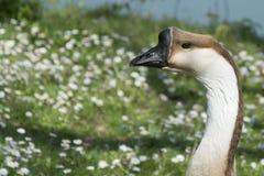 顶头鹅的图象在自然的 免版税库存图片