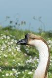顶头鹅的图象在自然的 免版税图库摄影