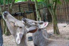 顶头鹿 免版税库存图片