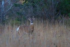 顽抗在森林里吃玉米的一头白被盯梢的鹿在车轮痕迹 免版税库存照片