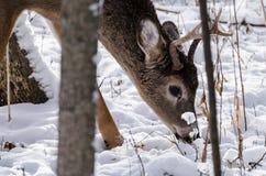 顽抗白尾鹿年轻人 库存照片