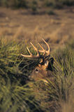 顽抗隐藏的白尾鹿 免版税库存照片