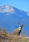 顽抗mComing在矛峰顶前面的小山的鹿 免版税库存照片