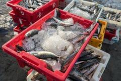 头顿,越南- 2016年7月03日:在塑料盘子堆的鲜鱼 库存图片