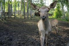 预期食物的天真年轻鹿舒展 免版税库存照片
