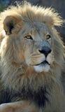 预警接近的狮子男 免版税库存照片