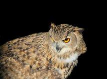 预警查找的猫头鹰 免版税库存照片