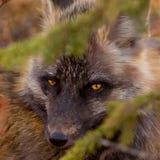 预警狐狸注视类渗透的红色狐狸 免版税库存图片