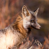 预警狐狸类注意纵向红色的狐狸 库存图片
