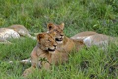 预警狮子 库存照片