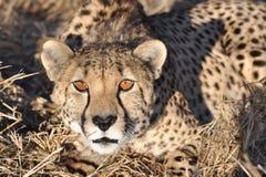 预警猎豹蹲下 免版税图库摄影