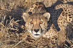 预警猎豹 库存照片